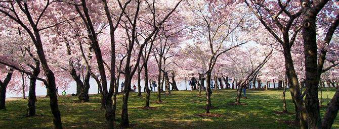 Palo Alto Events - Cherry Blossom Festival - Culture, Arts, Food & Music
